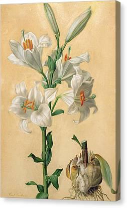 White Lily Canvas Print by Carl Franz Gruber