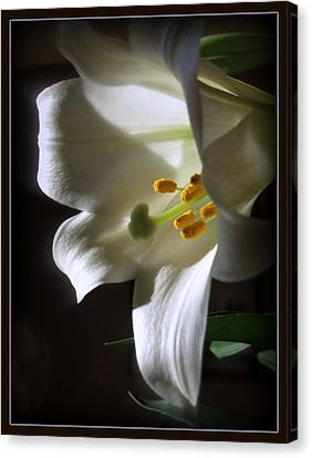 White Lily Canvas Print by Kay Novy