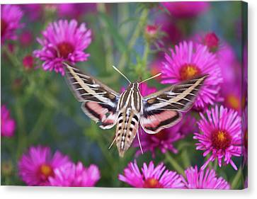 White-lined Sphinx Moth (hyles Lineata Canvas Print by Richard and Susan Day