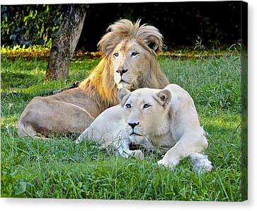 White Lion And Lioness Canvas Print by Venetia Featherstone-Witty