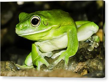 White-lipped Tree Frog Canvas Print