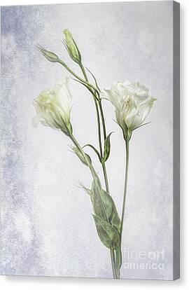White Lisianthus Flowers Canvas Print
