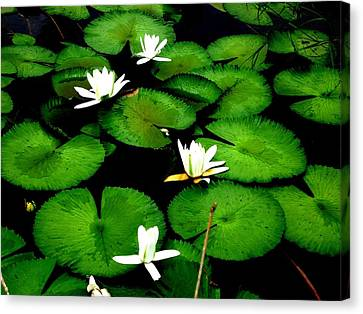 White Lotus Canvas Print by Ali Mohamad
