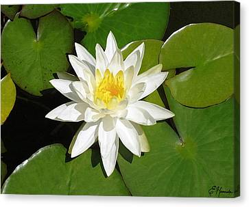 White Lotus 1 Canvas Print