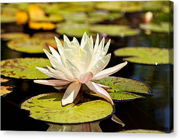 White Lotus Flower In Lily Pond Canvas Print by Susan Schmitz