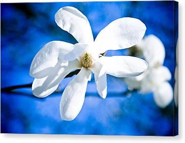 White Magnolia Blossom Canvas Print by Raimond Klavins