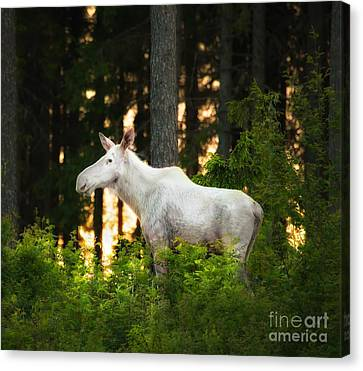 Canvas Print featuring the photograph White Moose In Sunset by Rose-Maries Pictures