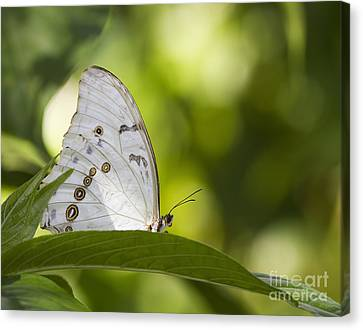 White Morpho   Canvas Print by Anne Rodkin