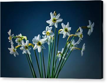 White Narcissus On A Dark Blue Background Canvas Print