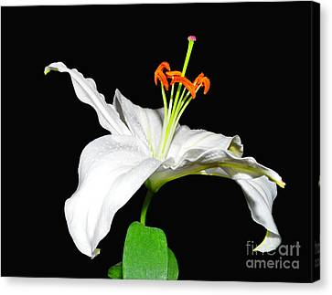 White On Black Canvas Print by Lula Adams