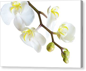 White Orchid Canvas Print by Mariola Szeliga