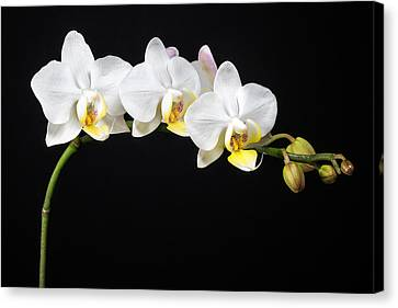 White Orchids Canvas Print by Adam Romanowicz