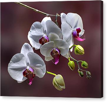 White Orchids Canvas Print by Bob Mulligan