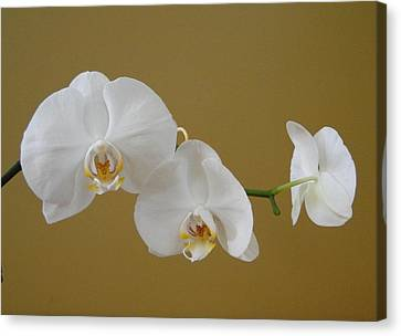 White Orchid's Canvas Print by Cindy Croal