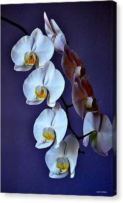 White Orchids Canvas Print by Dan Terry