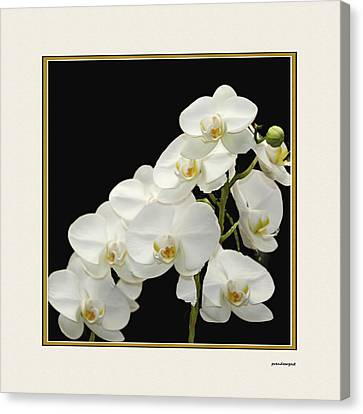 White Orchids II Canvas Print by Tom Prendergast