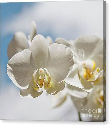 White Orchids - Messengers Of Light Canvas Print