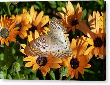 Canvas Print featuring the photograph White Peacock Butterfly by Cindy McDaniel