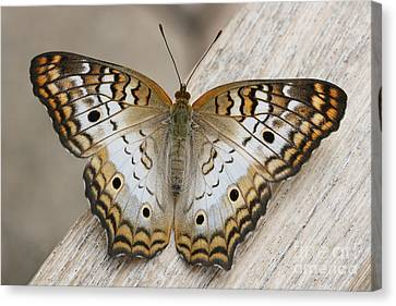 White Peacock Butterfly Canvas Print by Judy Whitton