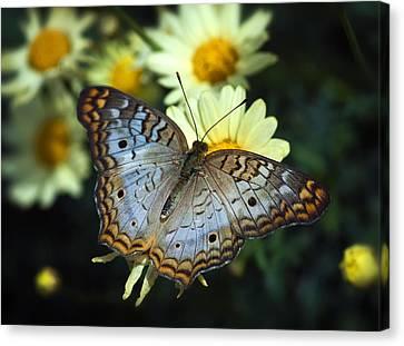 White Peacock Butterfly On A Daisy Canvas Print by Saija  Lehtonen