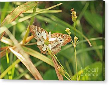 White Peacock Butterfly On Wild Daisy Canvas Print by Terri Mills