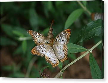 White Peacock Butterflies Canvas Print by Cathy Harper