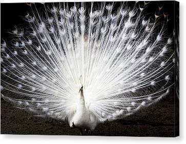 White Peacock Canvas Print by Daniel Precht