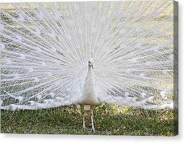 White Peacock - Fountain Of Youth Canvas Print by Christine Till