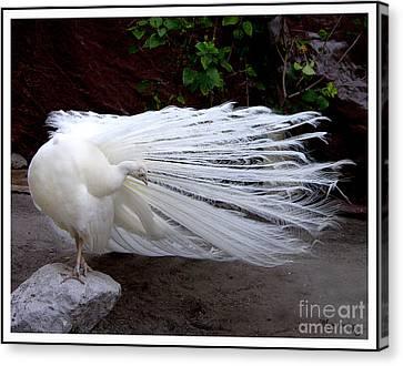 White Peacock Canvas Print by Mariarosa Rockefeller