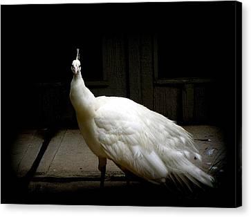 White Peacock Canvas Print by Tilen Hrovatic