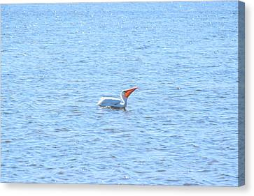 Jn Ding Darling National Wildlife Refuge Canvas Print - White Pelican by Curtis Krusie