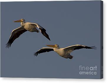 Canvas Print featuring the photograph White Pelican Photograph by Meg Rousher