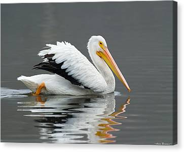 Canvas Print featuring the photograph White Pelican Swimming by Avian Resources