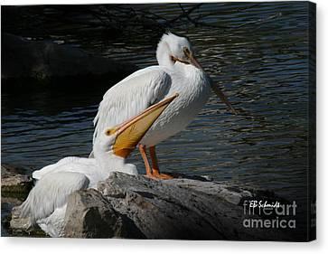 White Pelicans Canvas Print by E B Schmidt