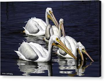 White Pelicans Fishing Canvas Print