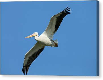 Flying White Pelicans Canvas Print - White Pelicans In Flight, Pelecanus by Maresa Pryor