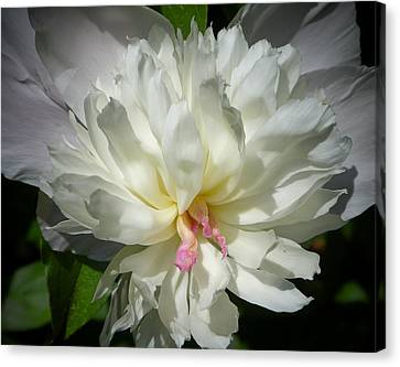 Canvas Print featuring the photograph White Peony by Elaine Franklin