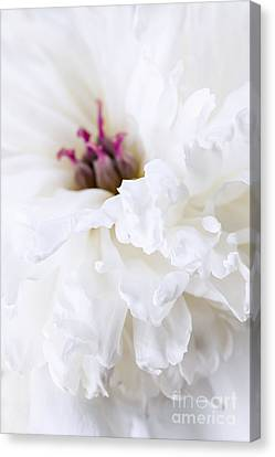 White Peony Flower Close Up Canvas Print by Elena Elisseeva