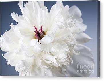 White Peony Flower  Canvas Print by Elena Elisseeva