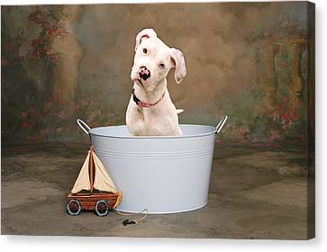 White Pitbull Puppy Portrait Canvas Print by James BO  Insogna