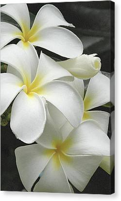 White Plumaria Canvas Print by Paul Miller