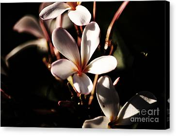 White Plumeria Canvas Print by Angela DeFrias