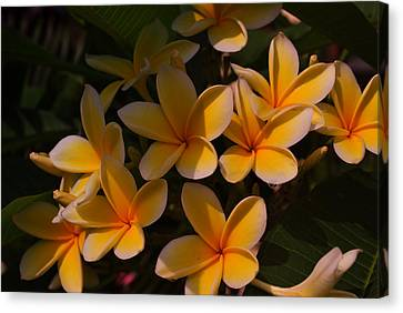 White Plumeria Canvas Print by Miguel Winterpacht