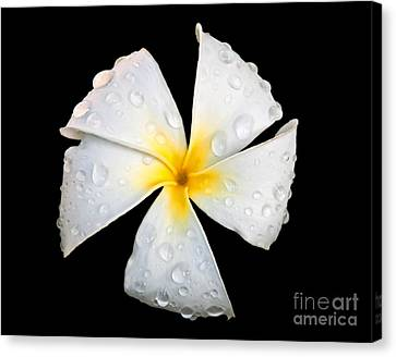 White Plumeria Or Frangipani Flower With Raindrops On Black Canvas Print by Valerie Garner