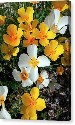 White Poppies, A Genetic Mutation Canvas Print by Susan Degginger