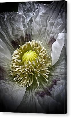 White Poppy Canvas Print by Frank Tschakert