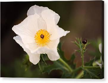 White Prickly Poppy Canvas Print by Thomas Pettengill
