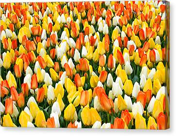 White Orange And Yellow Tulips Canvas Print by Menachem Ganon