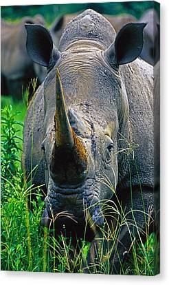 Canvas Print featuring the photograph White Rhino by Dennis Cox WorldViews