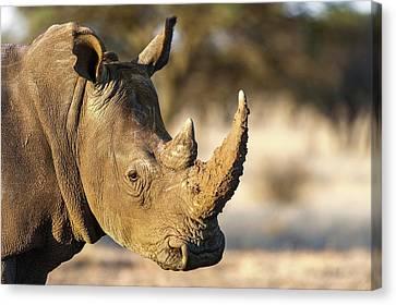 White Rhino Canvas Print by Peter Chadwick